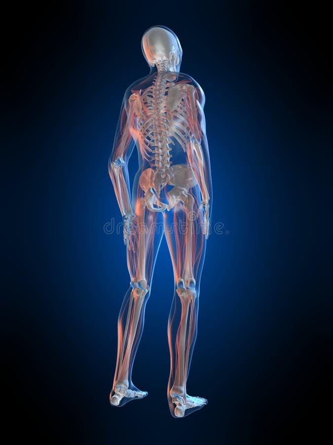 Anatomía humana stock de ilustración. Ilustración de backbone - 8061207