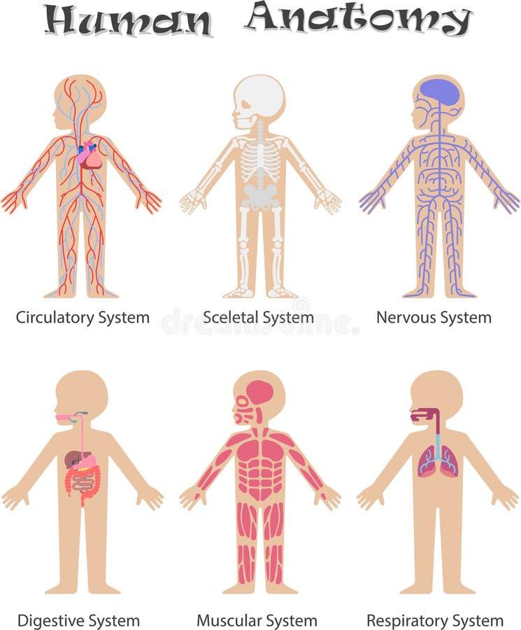 Anatomía humana libre illustration