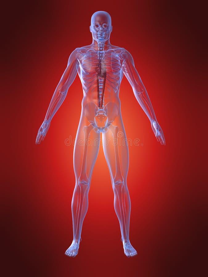 Anatomía humana con el corazón ilustración del vector