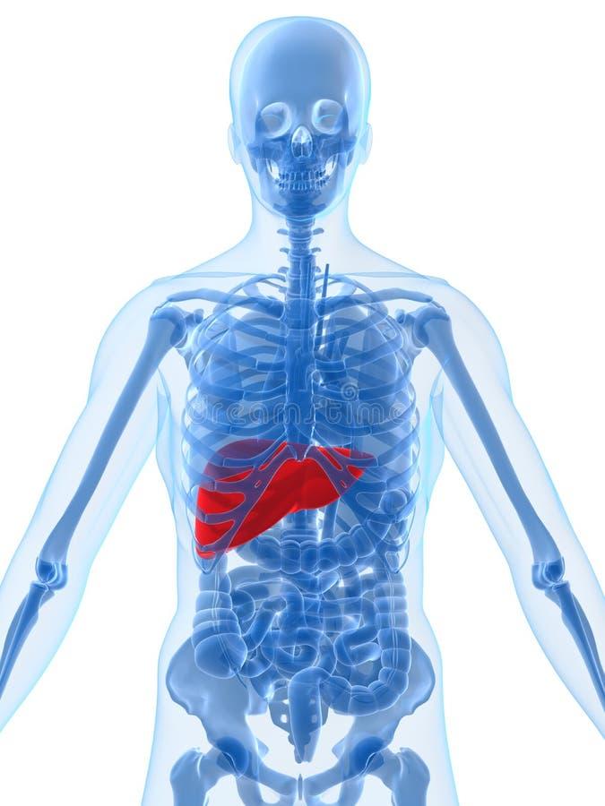 Anatomía humana con el hígado ilustración del vector