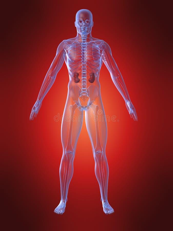 Anatomía humana con el riñón stock de ilustración
