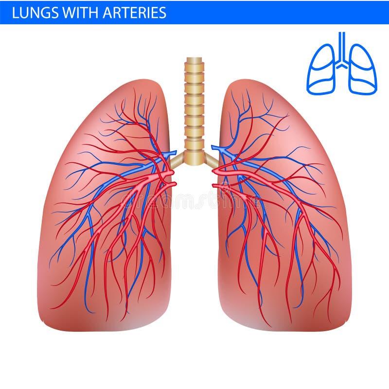 Anatomía Humana Con La Arteria, Vista Delantera De Los Pulmones Del ...