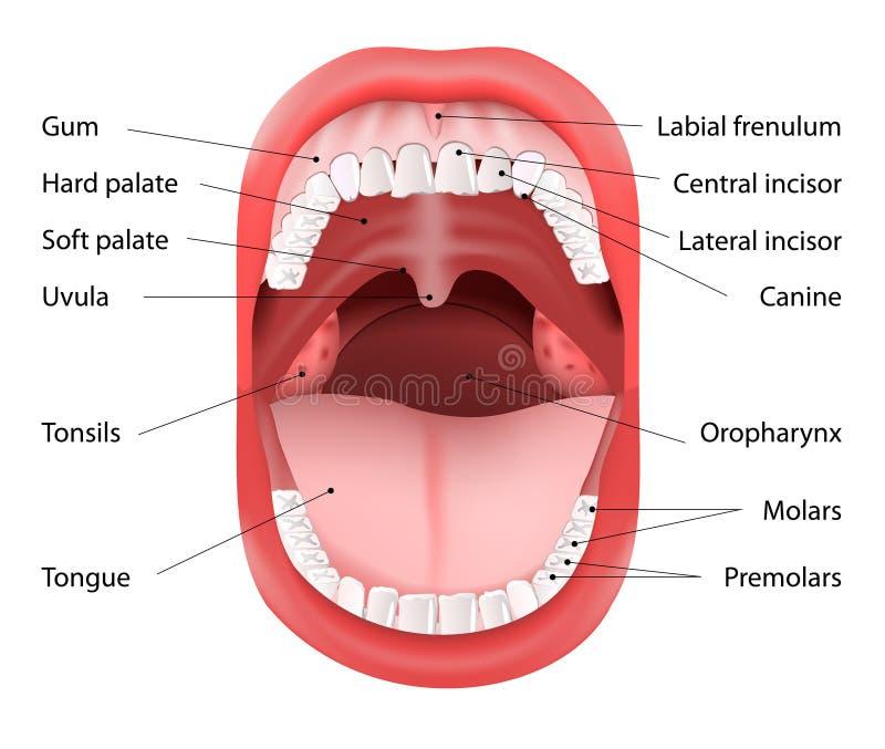 Anatomía humana de la boca stock de ilustración