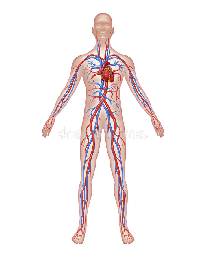 Anatomía humana de la circulación ilustración del vector