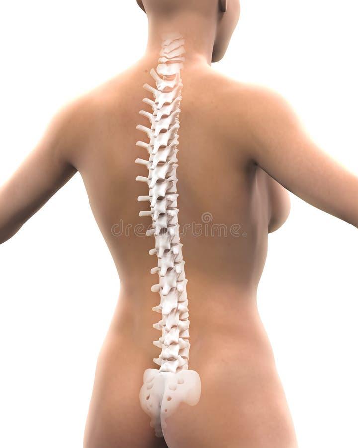 Anatomía humana de la espina dorsal ilustración del vector