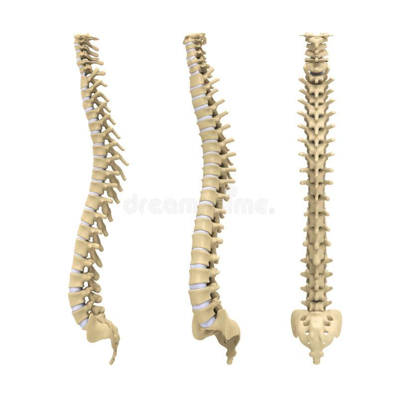Anatomía Humana De La Espina Dorsal Stock de ilustración ...