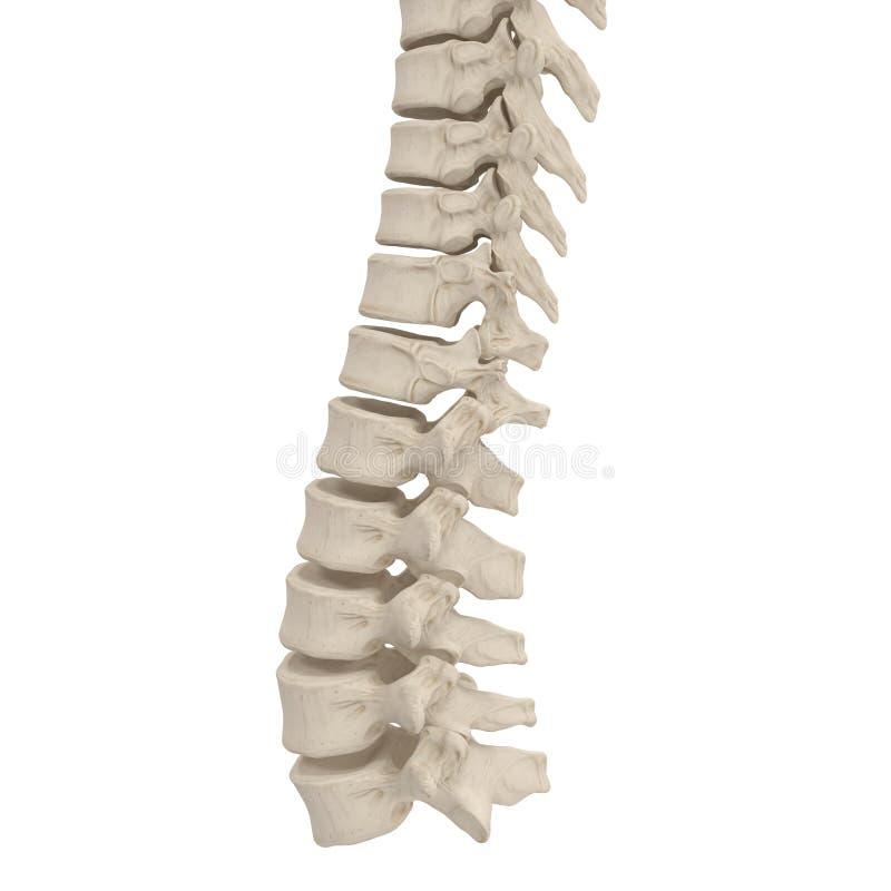 Anatomía Humana De La Espina Dorsal En Blanco Ilustración 3D Stock ...