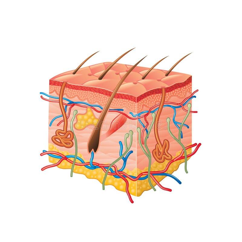 Anatomía humana de la piel aislada en el vector blanco ilustración del vector