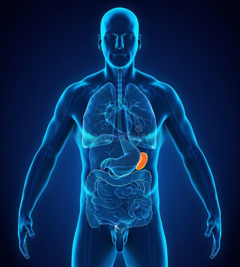 Fantástico Imagen De Un Bazo Humano Motivo - Imágenes de Anatomía ...