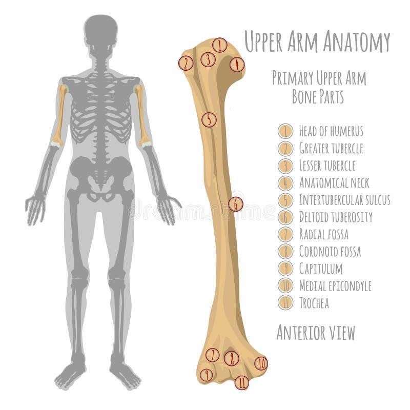 Anatomía humana del brazo superior libre illustration