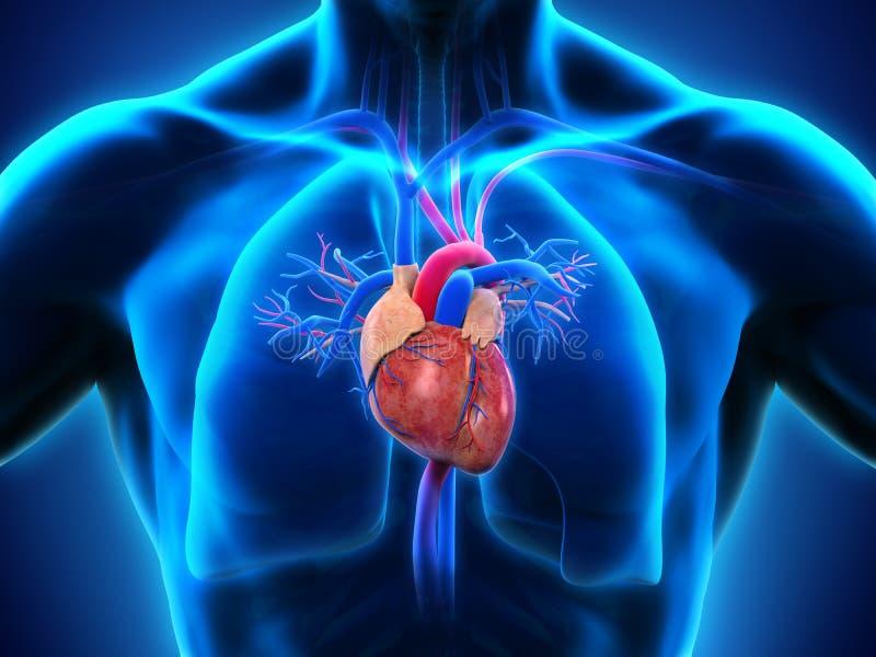 Anatomía humana del corazón stock de ilustración