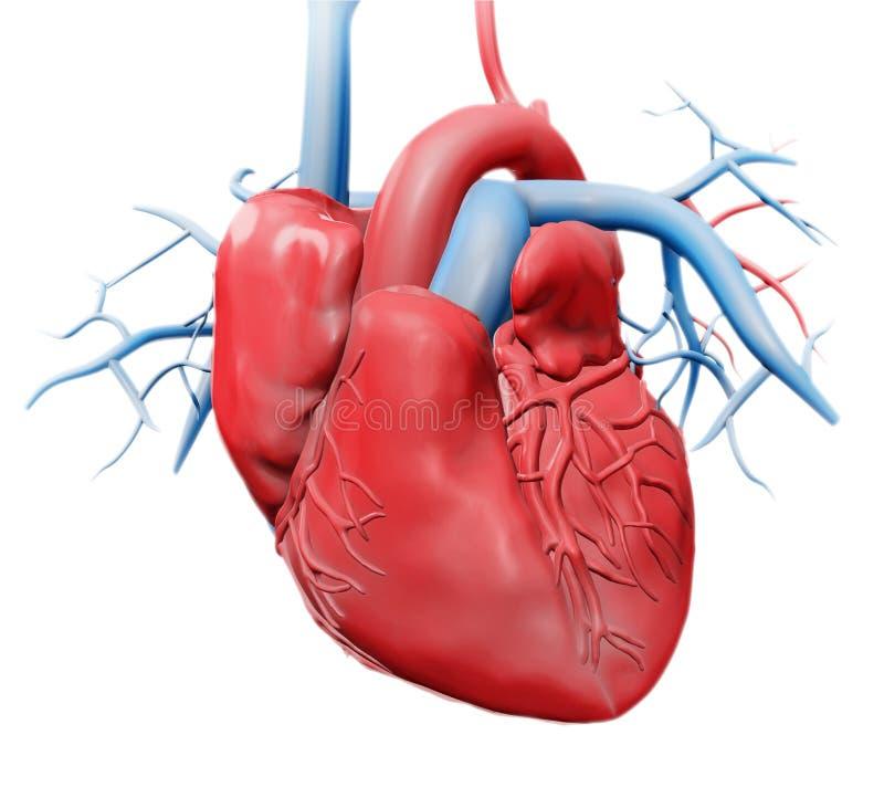 Anatomía Humana Del Corazón Stock de ilustración - Ilustración de ...