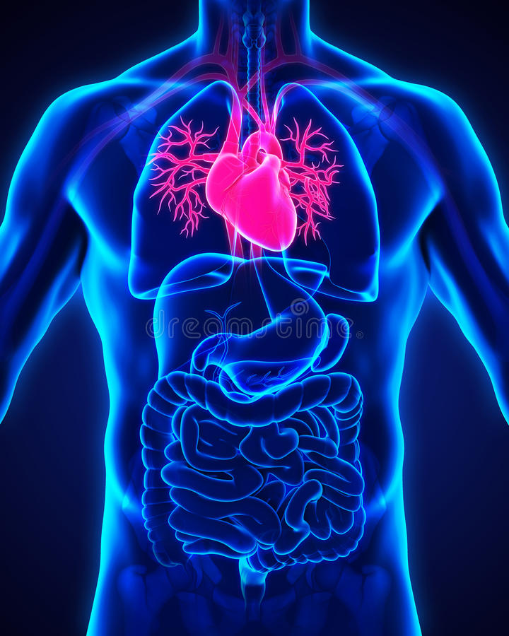Anatomía humana del corazón libre illustration