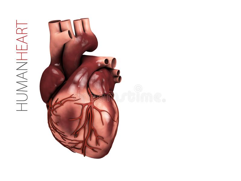 Anatomía Humana Del Corazón Símbolo De Los órganos Ejemplo 3d ...