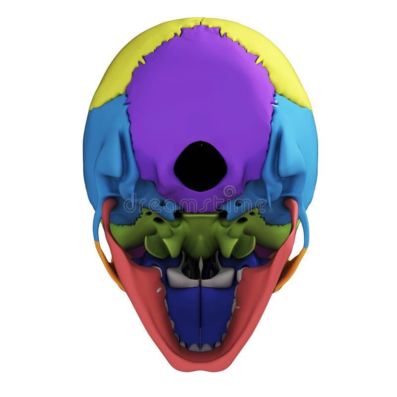 Anatomía humana del cráneo stock de ilustración. Ilustración de ...