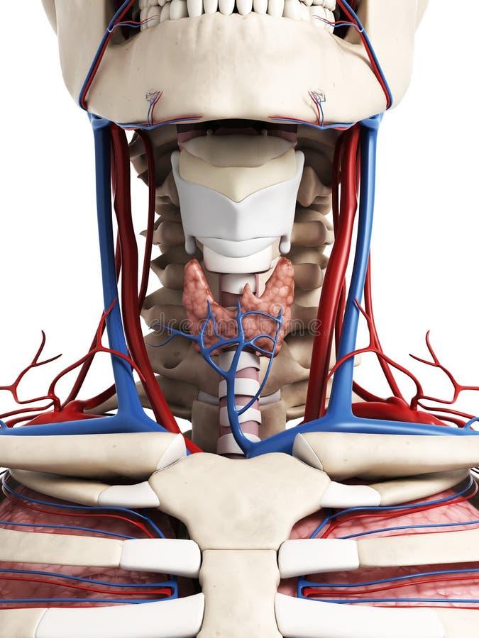 Anatomía humana del cuello stock de ilustración. Ilustración de ...