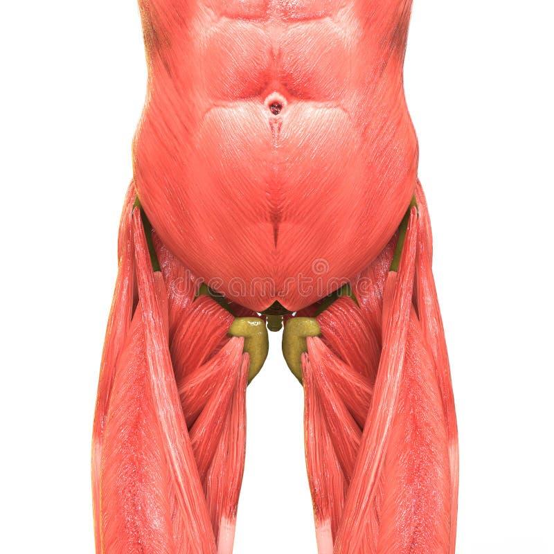 Anatomía Humana Del Cuerpo Del Músculo Stock de ilustración ...