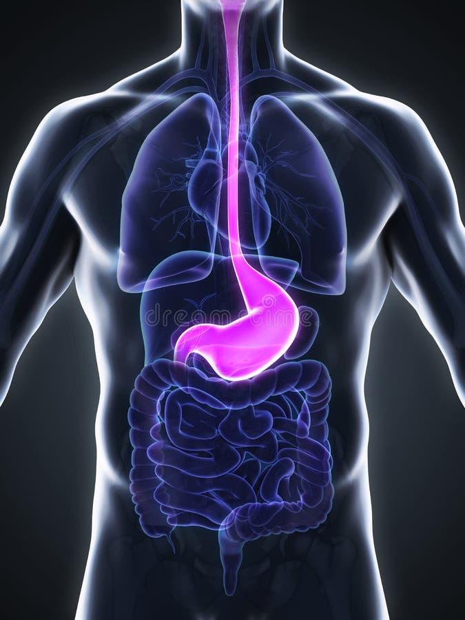 Anatomía Humana Del Estómago Stock de ilustración - Ilustración de ...