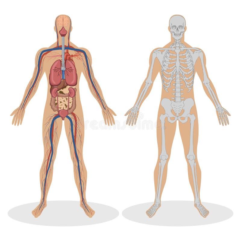 Anatomía humana del hombre stock de ilustración
