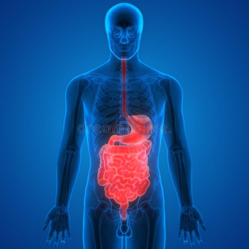 Anatomía Humana Del Sistema Digestivo Stock de ilustración ...
