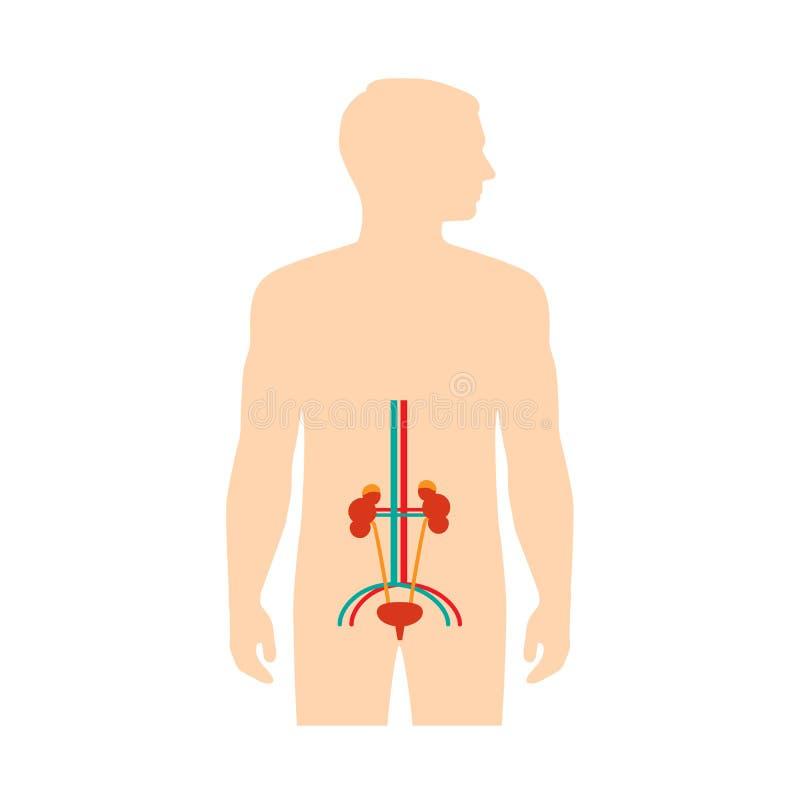 Anatomía Humana Del Sistema Urinario, Ilustración del Vector ...