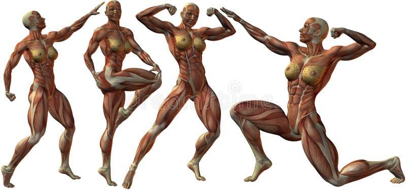 Download Anatomía Humana Femenina Del Bodybuilder Stock de ilustración - Ilustración de brazos, humano: 7286307