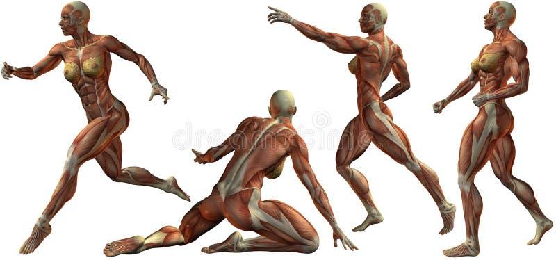 Download Anatomía Humana Femenina Del Bodybuilder Stock de ilustración - Ilustración de humano, bodybuilder: 7286610