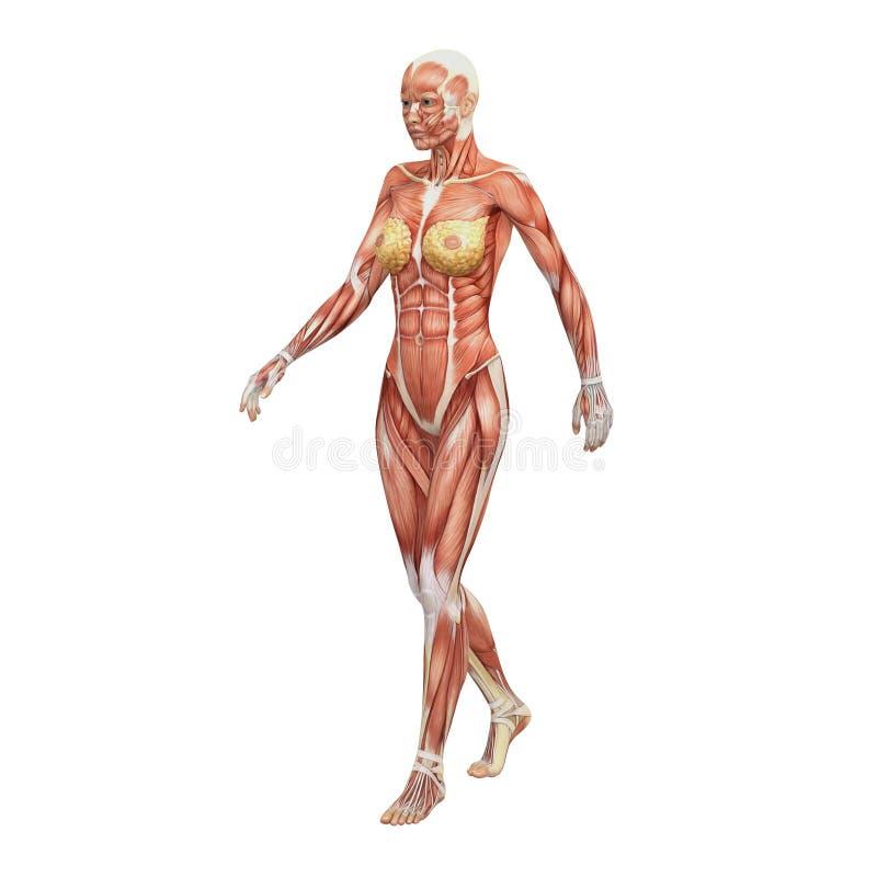 Anatomía Humana Femenina Y Músculos Stock de ilustración ...