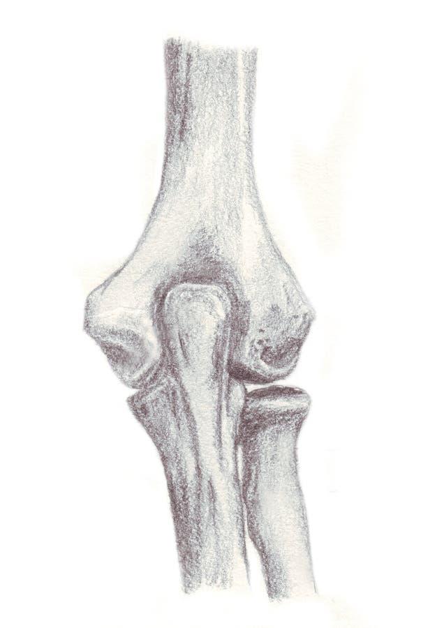 Anatomía Humana, Huesos Del Codo Stock de ilustración - Ilustración ...