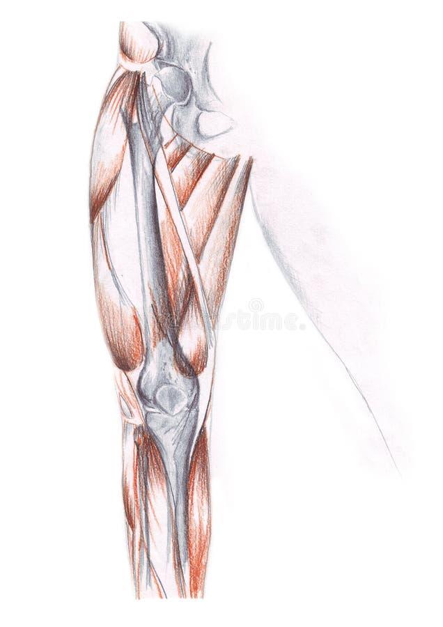 Anatomía Humana - La Pierna Stock de ilustración - Ilustración de ...
