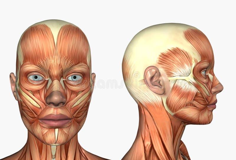 Anatomía humana - músculos de la cara stock de ilustración