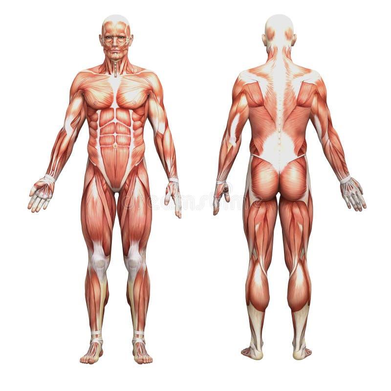 Anatomía humana masculina atlética y músculos stock de ilustración