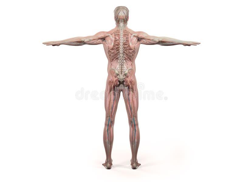 Anatomía humana que muestra el cuerpo, la cabeza, hombros y el torso llenos traseros libre illustration