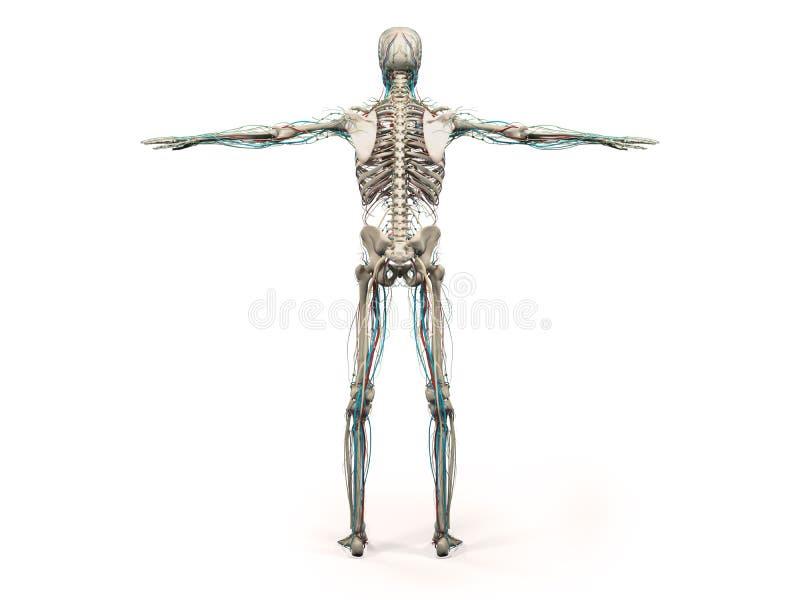 Anatomía humana que muestra el cuerpo, la cabeza, hombros y el torso llenos traseros stock de ilustración