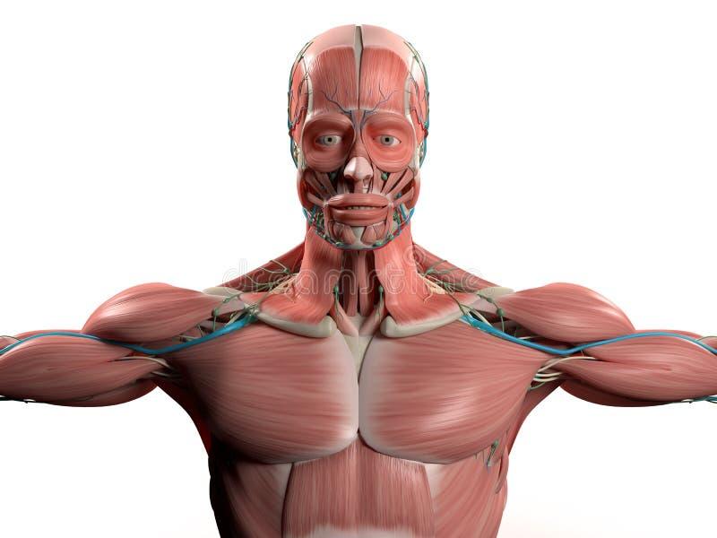 Perfecto Torso órganos Anatomía Componente - Imágenes de Anatomía ...