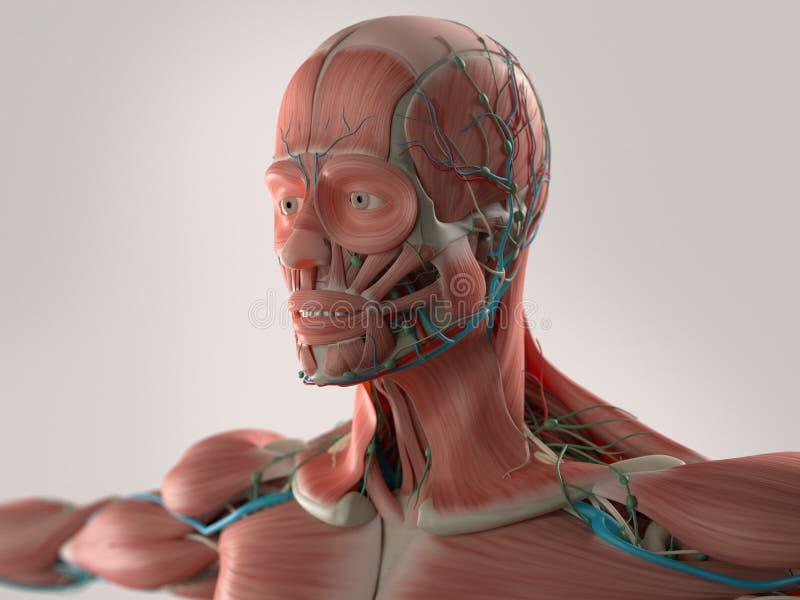 Anatomía humana que muestra la cara, la cabeza, hombros y el pecho stock de ilustración