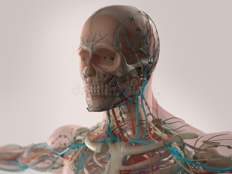 Anatomía humana que muestra la cara, la cabeza, hombros y el pecho libre illustration