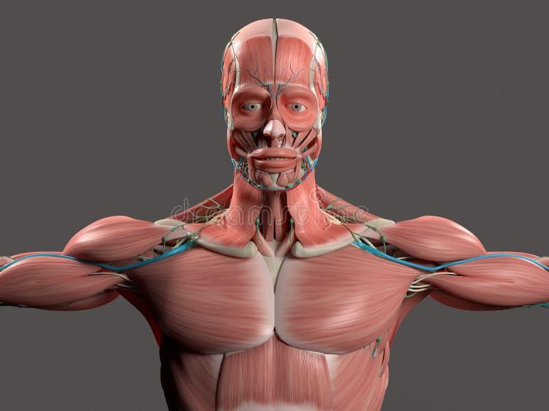 Anatomía humana que muestra la cara, la cabeza, hombros y el torso stock de ilustración