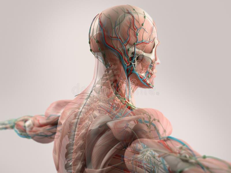 Anatomía humana que muestra la cara, la cabeza, hombros y la parte posterior stock de ilustración