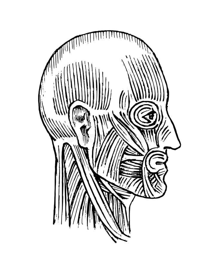 Anatomía humana Sistema muscular y del hueso de la cabeza Ejemplo médico del vector para la ciencia, la medicina y la biología va ilustración del vector