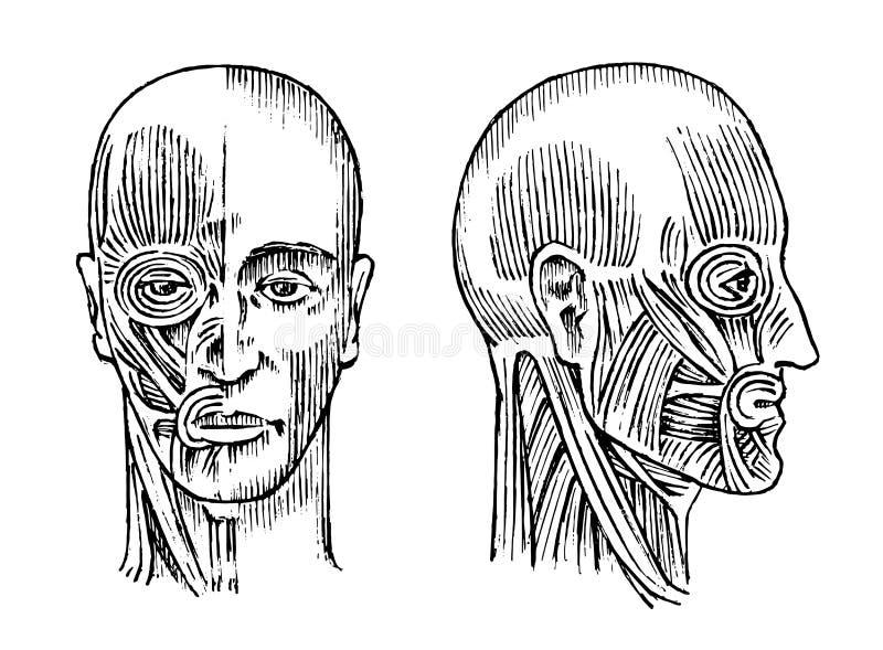 Anatomía humana Sistema muscular y del hueso de la cabeza Ejemplo médico del vector para la ciencia, la medicina y la biología va stock de ilustración