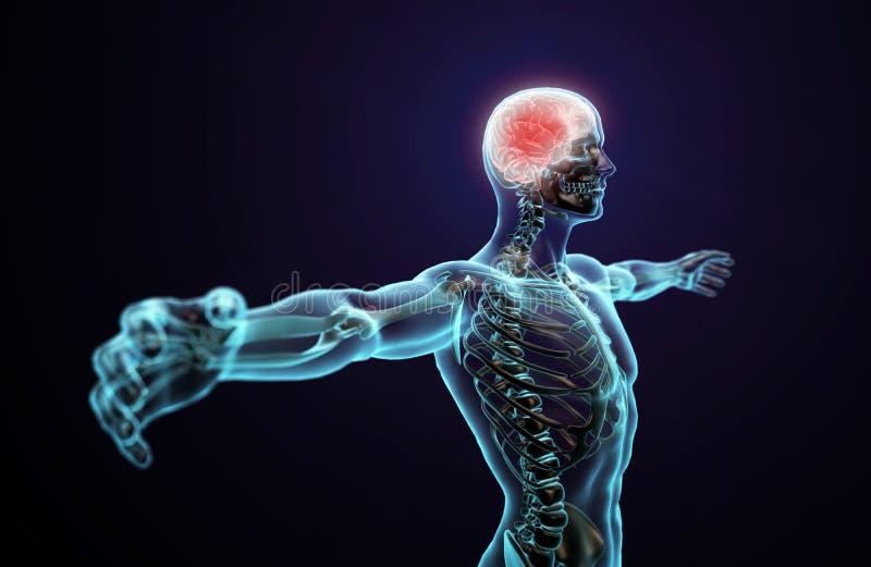 Anatomía humana - sistema nervioso central stock de ilustración