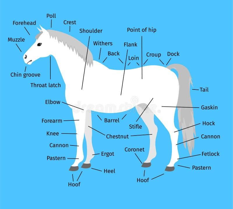 Anatomía infographic plana de la historieta del vector de un caballo gris blanco en fondo azul libre illustration