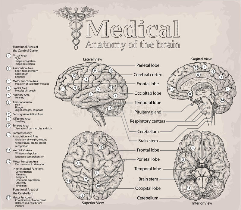 Anatomía Médica Del Cerebro Humano Medicina, Ejemplo Po Del Vector ...