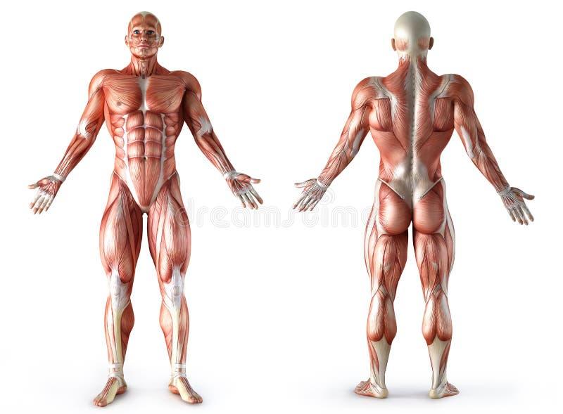 Anatomía, músculos stock de ilustración. Ilustración de carrocería ...