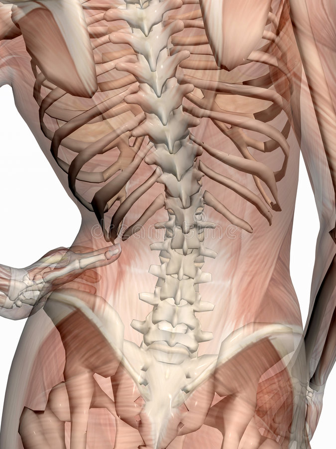Anatomía, músculos transparant con el esqueleto. libre illustration