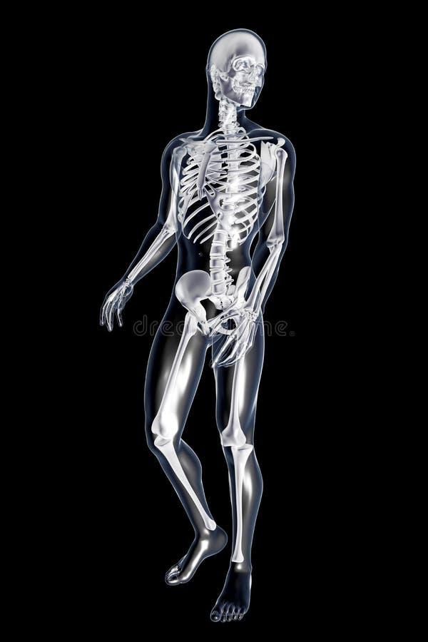 Anatomía masculina ilustración del vector