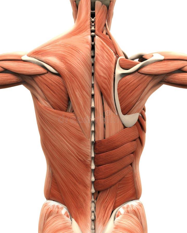 Anatomía muscular de la parte posterior ilustración del vector
