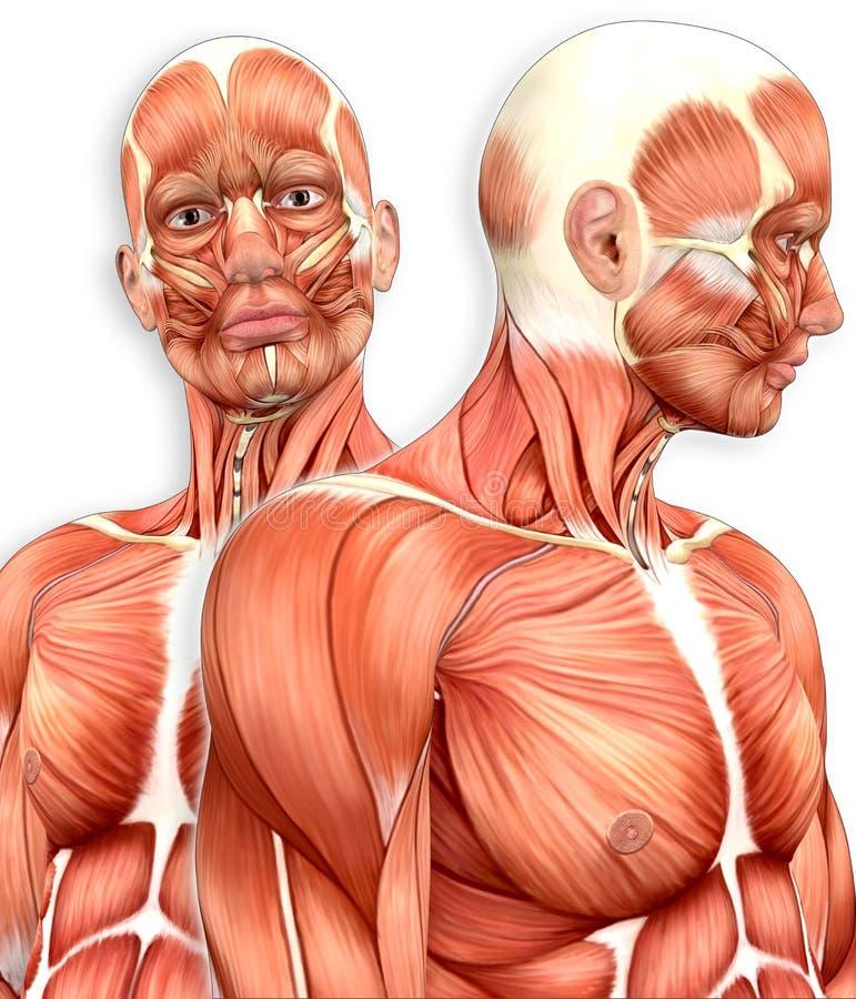 Anatomía Muscular Masculina 3d Con Vista Lateral Stock de ...