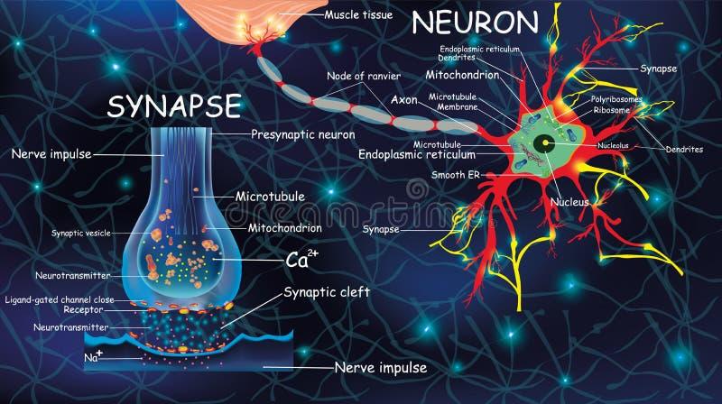 Anatomía neyron y sinapsis Señalización en el cerebro Celdas neyron y sinapsis con descripciones Neyron de estructura para ilustración del vector